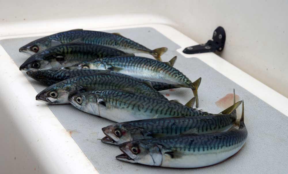 Sieben Makrelen auf der Cockpitbank